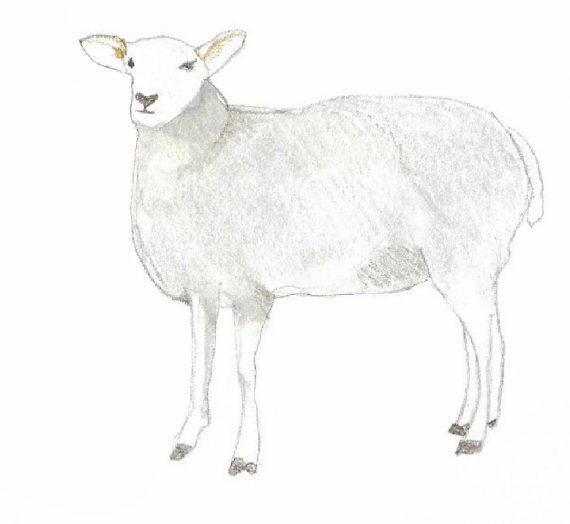 91ème liste :  La toison des moutons